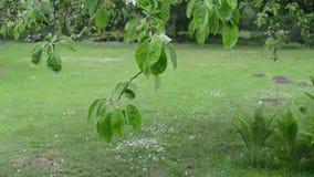 Rain water drops flow on apple tree branch leaves in garden. Rain water drops fall and flow on apple fruit tree branch leaves in spring garden stock video
