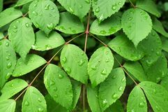 Rain water drops on green leaves.  Royalty Free Stock Photography