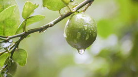 Rain water drops from lime fruit footage stock footage