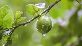 Rain water drops from lime fruit footage