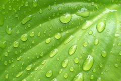 Rain water drops on smooth green leaf Stock Images