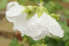 Rain water drops on white flower petals.  Royalty Free Stock Photos
