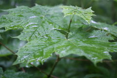 After rain. Wet green leaves after rain Royalty Free Stock Photography