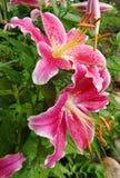 Rain wet pink firecracker lilies stock photo