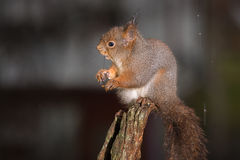 Rain wet and squirrel Stock Image