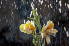 The Rain & The Yellow Flower. Just a summer rain in the garden stock images