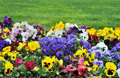 Rainbaw flowerbed. Flowerbed full of all colors flowers and grass behind stock photos