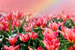 Rainbow above a field of tulips Royalty Free Stock Photos