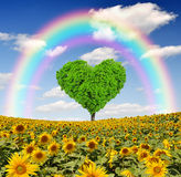 Sunflower field. Rainbow above the sunflower field with tree from the shape heart Royalty Free Stock Images