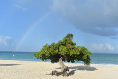 Rainbow Across The Sky Behind A Divi Divi Tree Stock Images