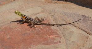 Rainbow agama. The common, red-headed rock or rainbow agama is a species of lizard from the Agamidae family found in most of sub-Saharan Africa royalty free stock photography