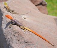 Rainbow agama. The common, red-headed rock or rainbow agama is a species of lizard from the Agamidae family found in most of sub-Saharan Africa stock images