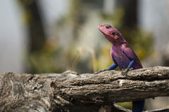 Rainbow Agama Royalty Free Stock Images