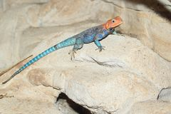 Rainbow agama. On the rock Stock Photo