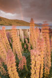 Rainbow and Alpine Lupins. The alpine lupins meadow during windy morning light royalty free stock photo