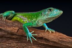 Rainbow ameiva Stock Photos