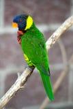 Rainbow australiano Lorikeet Immagini Stock Libere da Diritti