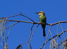 Rainbow Bee-eater. (Merops ornatus) in tree on coast of Southern Queensland Royalty Free Stock Photography