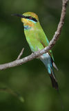 Rainbow bee-eater Stock Image