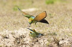 Rainbow bee eater being fed. Rainbow bee eater being fed, New South Wales, Australia stock images