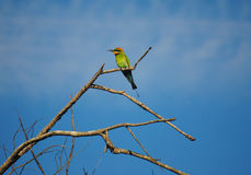 Rainbow Bee-eater. Perching on a small tree Royalty Free Stock Photos