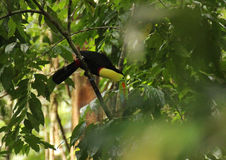Rainbow Billed Toucan. The Rainbow Billed Toucan tropical bird found in Costa Rica Royalty Free Stock Photos