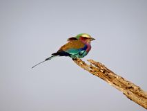 Rainbow Bird Royalty Free Stock Photography