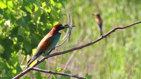 Rainbow bird sitting on a branch of dragonflies in its beak stock footage