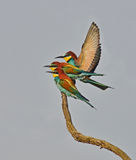 Rainbow birds Royalty Free Stock Image