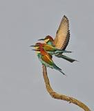Rainbow birds Royalty Free Stock Image