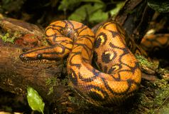 Rainbow boa Stock Photos