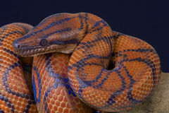 Rainbow boa / Epicrates cenchria cenchria. The rainbow boa is one of the most spectacular boa species in the world. These brightly colored snakes are mostly Stock Images