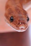 Rainbow boa snake Stock Images