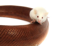Rainbow boa snake and his friend mouse Royalty Free Stock Photography