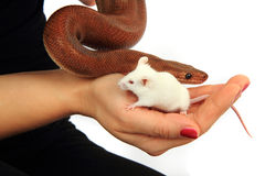 Rainbow boa snake and his friend mouse Royalty Free Stock Photos