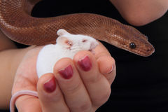 rainbow boa snake and his friend mouse Stock Images