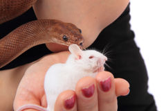 rainbow boa snake and his friend mouse Royalty Free Stock Photo