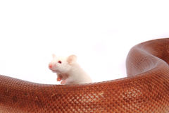 rainbow boa snake and his friend mouse Stock Image