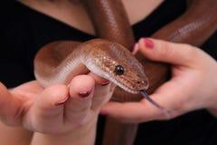 Rainbow boa snake and human hands. As nice animal background stock photo
