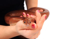 Rainbow boa snake and human hands. As nice animal background royalty free stock photo