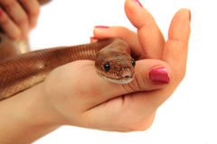 Rainbow boa snake and human hands. Isolated on the white background royalty free stock images
