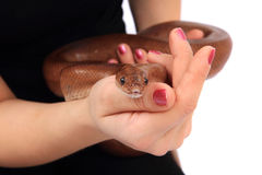 Rainbow boa snake and human hands. Isolated on the white background stock image