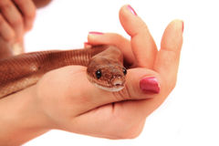 Rainbow boa snake and human hands. Isolated on the white background royalty free stock photography