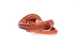 Rainbow boa snake Royalty Free Stock Photo