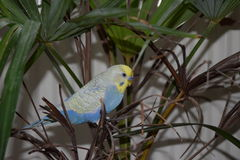 Rainbow budgie Royalty Free Stock Images