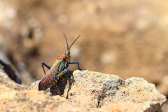 Rainbow Bush Locust Stock Image