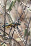Rainbow Bush Locust on milkweed bush royalty free stock photography