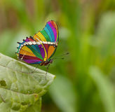 Rainbow butterfly. Photoshoped rainbow wings butterfly on a leaf Stock Photography