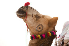 The rainbow camel. The camel is put to sell at the annual camel fair held at Pushkar fair in Rajasthan, India Royalty Free Stock Images