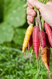 Rainbow carrots Royalty Free Stock Images